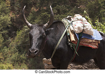 Expressive Yak - Expressive yak carrying baggage along the...