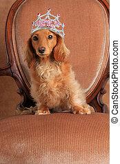 Spoiled dachshund puppy