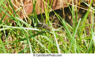 Great capricorn beetle Cerambyx cerdo get out of grass