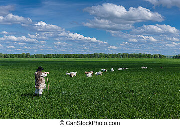 Shepherd and herd of goats on a pasture - Shepherd and herd...