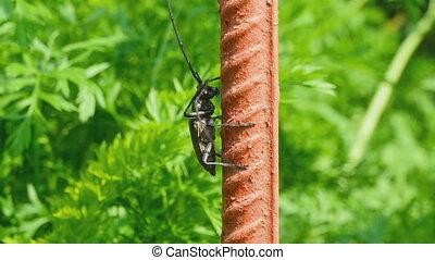 Great capricorn beetle (Cerambyx cerdo) climbing up the...