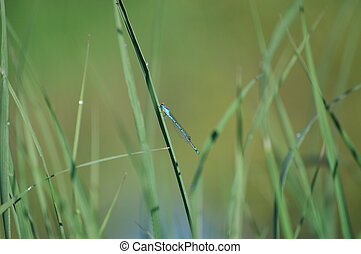 Common Bluet in Grass - Common Bluet Damselfly in Grass with...