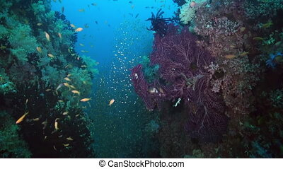 Thickets of colorful soft coral on reef in ocean. - Thickets...