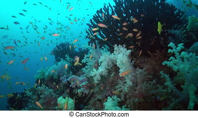 Thickets of colorful soft coral on reef in ocean - Thickets...