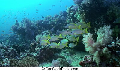School of tropical fish on reef in search of food. - A flock...