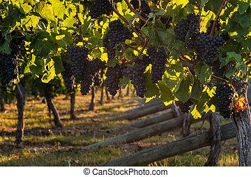 cabernet sauvignon grapes - closeup of cabernet sauvignon...