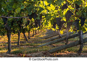 pinot noir grapes in vineyard at harvest time