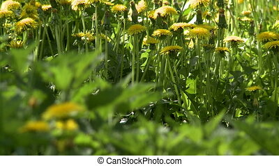Nature View of dandelions and nettles on meadow, close-up