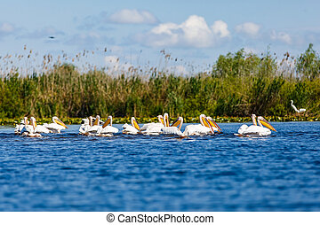White pelicans in Danube Delta - Landscape photo of white...