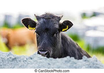 Cute black calf