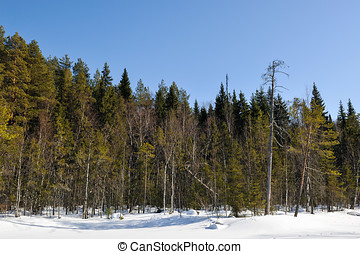 Spring taiga - Spring view of taiga forest with deep blue...