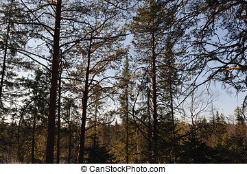 Spring taiga - Spring view of taiga forest