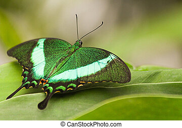 Green Peacock Swallowtail resting on green leaves