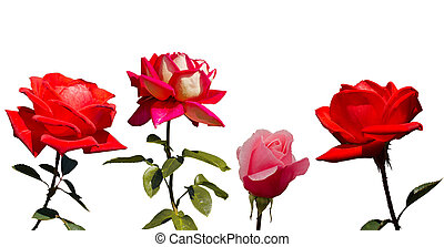 Collection of 4 roses, isolated on the white background