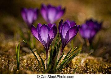 Crocuses - Violet crocuses in blossom in spring field