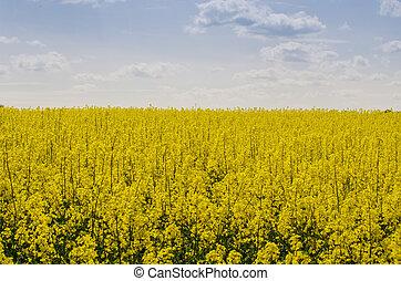 Field of rapeseed in Czech Republic