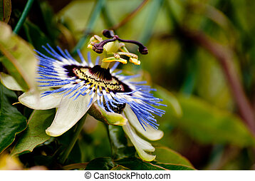 Passiflora flower - A flower of passiflora in blossom