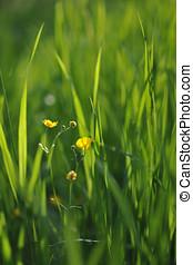 Buttercup - Buttercup deep in green grass