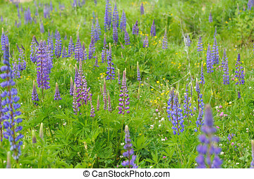 Lupine flowers in lights of sun