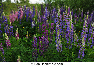 Lupine field - Close up of lupine flowers in lights of...