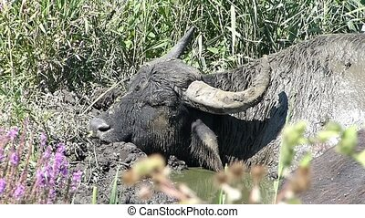 Buffalo sleeping in the afternoon - A tired buffalo takes a...