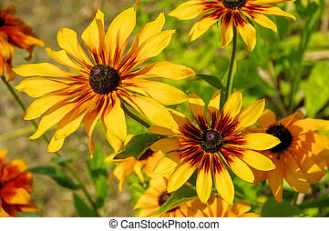 black-eyed Susan flower in summer garden