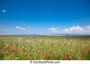 Romanian countryside - Field of grain in the countryside,...