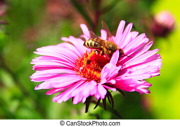 bee on the flower of aster - bee sits on the flower of aster...