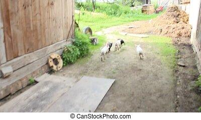 piglets run jolly on a farm - dimestic piglets fun run in...