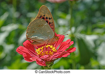 butterfly on red flower - Cardinal butterfly on red zinnia...