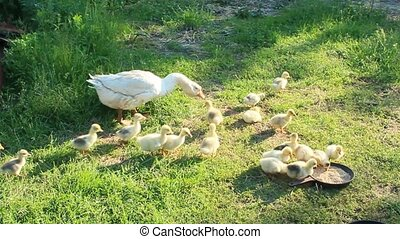 goslings with goose on the grass - goslings with their goose...