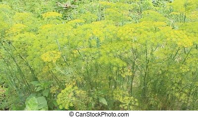 Fennel growing on the vegetable garden - green fennel grows...