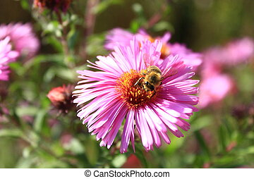 bee climbs on the flower of aster and collects nectar