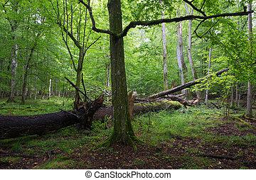 Old hornbeam tree in summertime stand - Old hornbeam tree in...