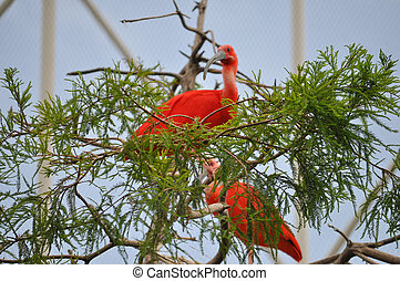Scarlet Ibis bird animal