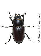 Crawling female stag beetle Lucanus cervus isolated on the...
