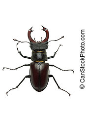 Crawling male stag beetle Lucanus cervus isolated on the...
