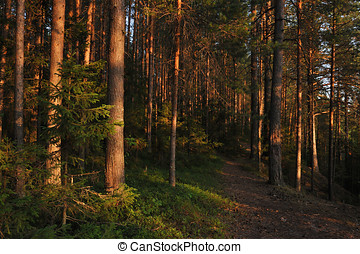 Evening in forest - Landscape Fosert by the evening light,...