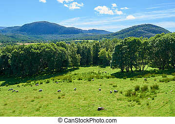 Grassy meadow with sheep
