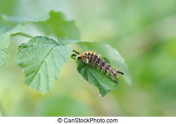 Caterpillar of orgyia antiqua - Close up of beautiful...