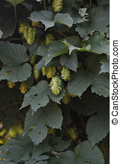 Hop Close up - Agriculture Hops ovaries close up in the...