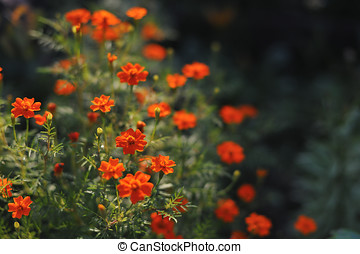 Tagetes tenuifolia - Garden flowers. Close up of tagetes...