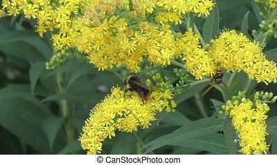 Bumblebee collects nectar in the flower Zolotarnik an