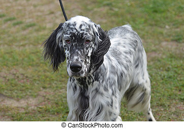 Beautiful Face of an English Setter - Loveable English...