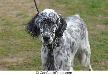 Loveable English Setter Dog - Great looking English setter...