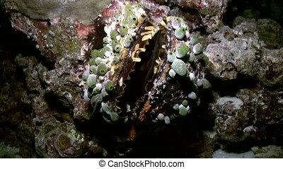 Clam Tridacna maxima. Underwater marine life. - Underwater...
