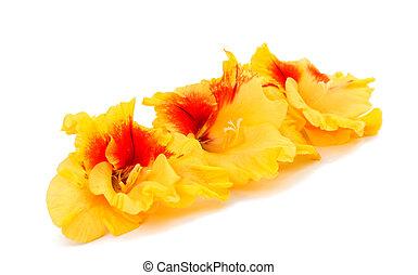 amarillo, gladiolo, flor