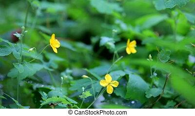 Flowers celandine - Beautiful green plants under heavy rain....