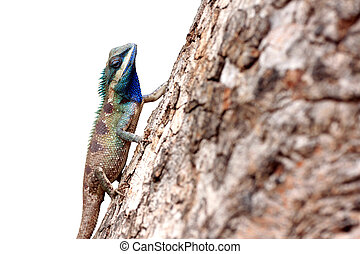 Chameleon on the trunk timber isolated on white background....