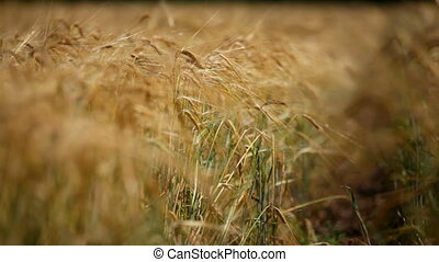 Agriculture - Ripened wheaten cones of golden colour.